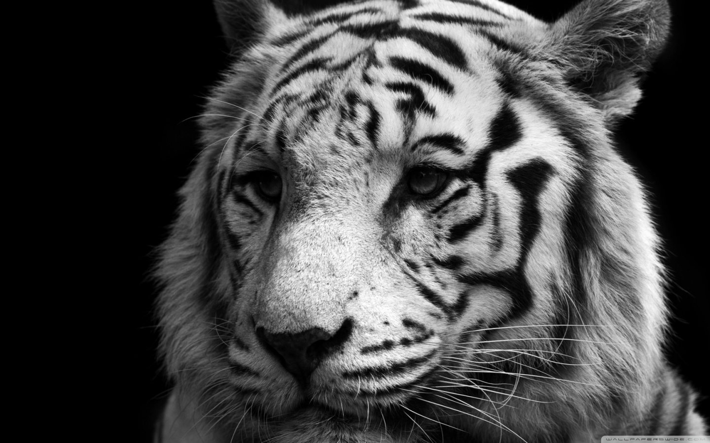 Tiger Wallpaper Black And White
