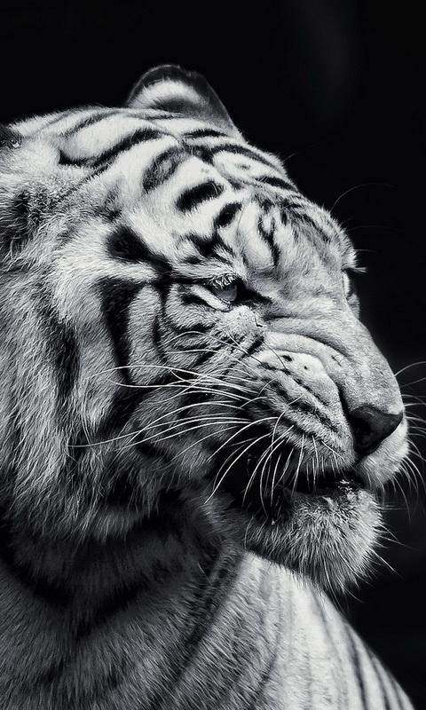 Tiger Wallpaper For Android