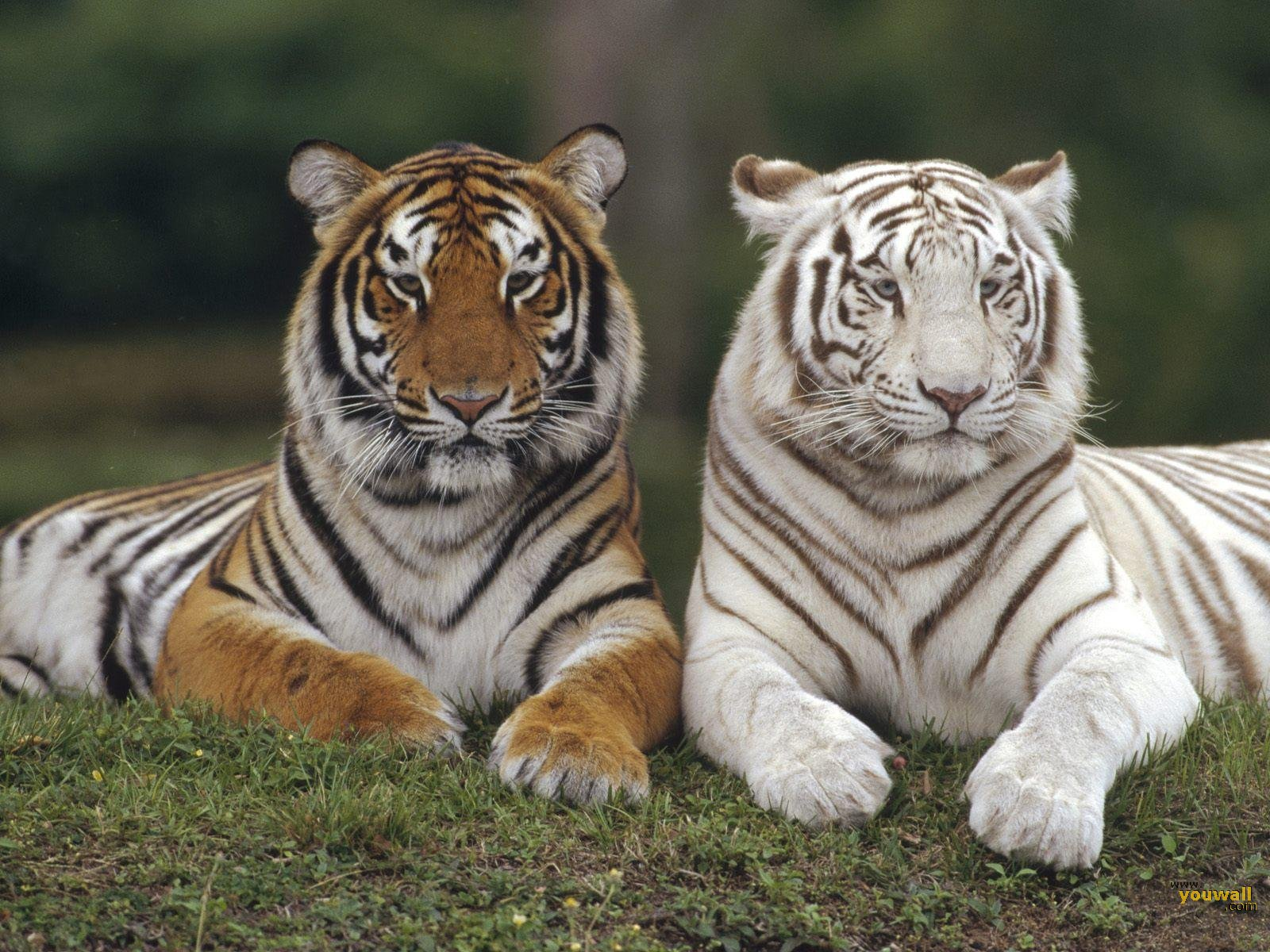 Tigers Pictures Wallpaper