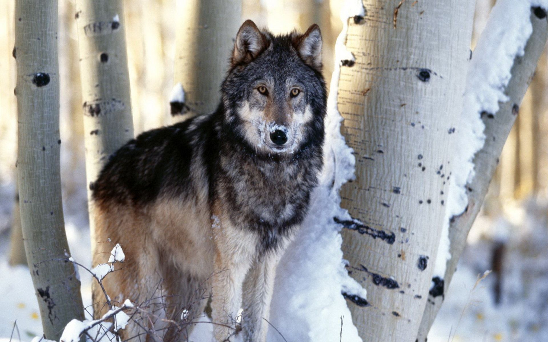 Timber Wolf Wallpaper
