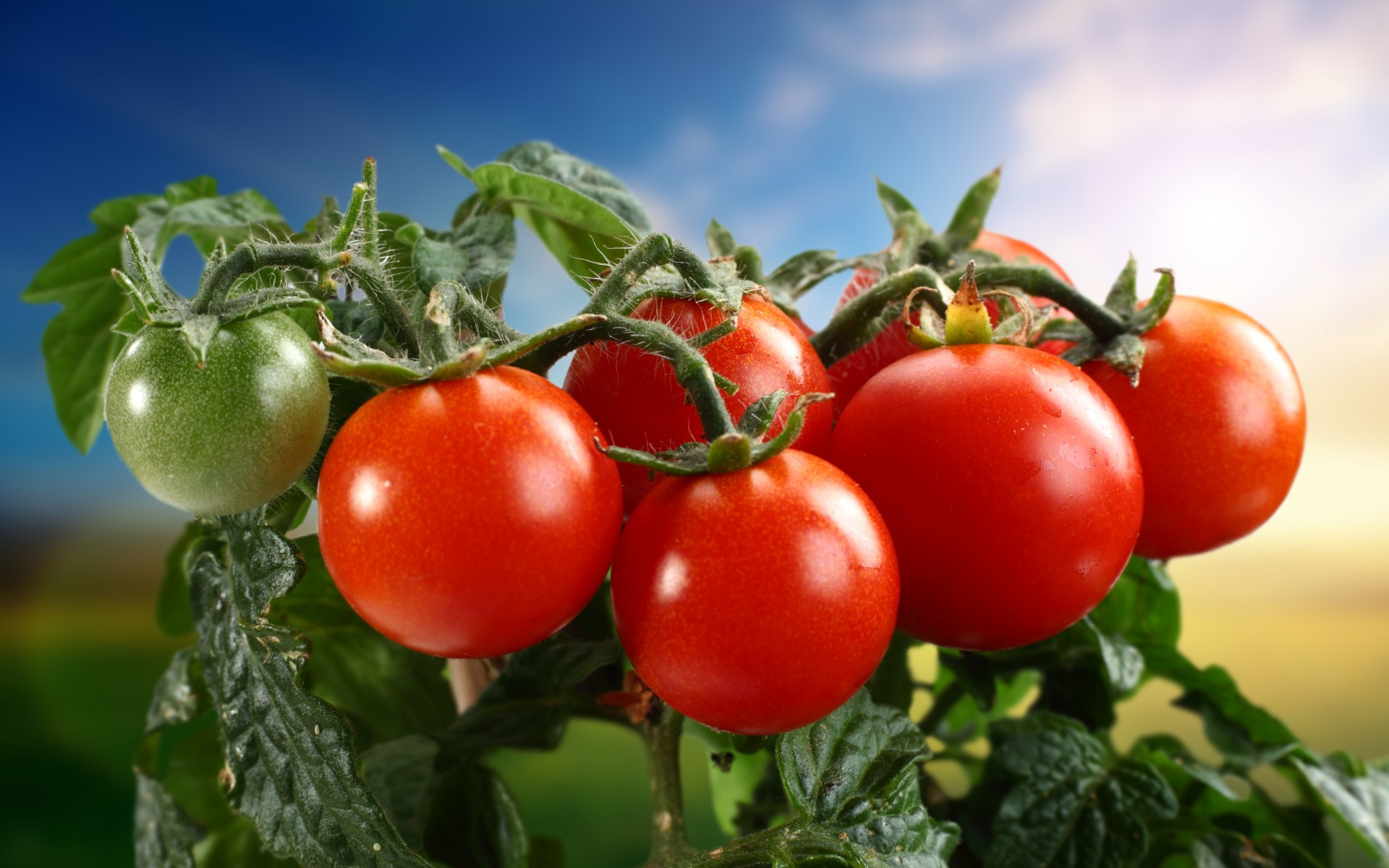 Tomatoes Wallpapers