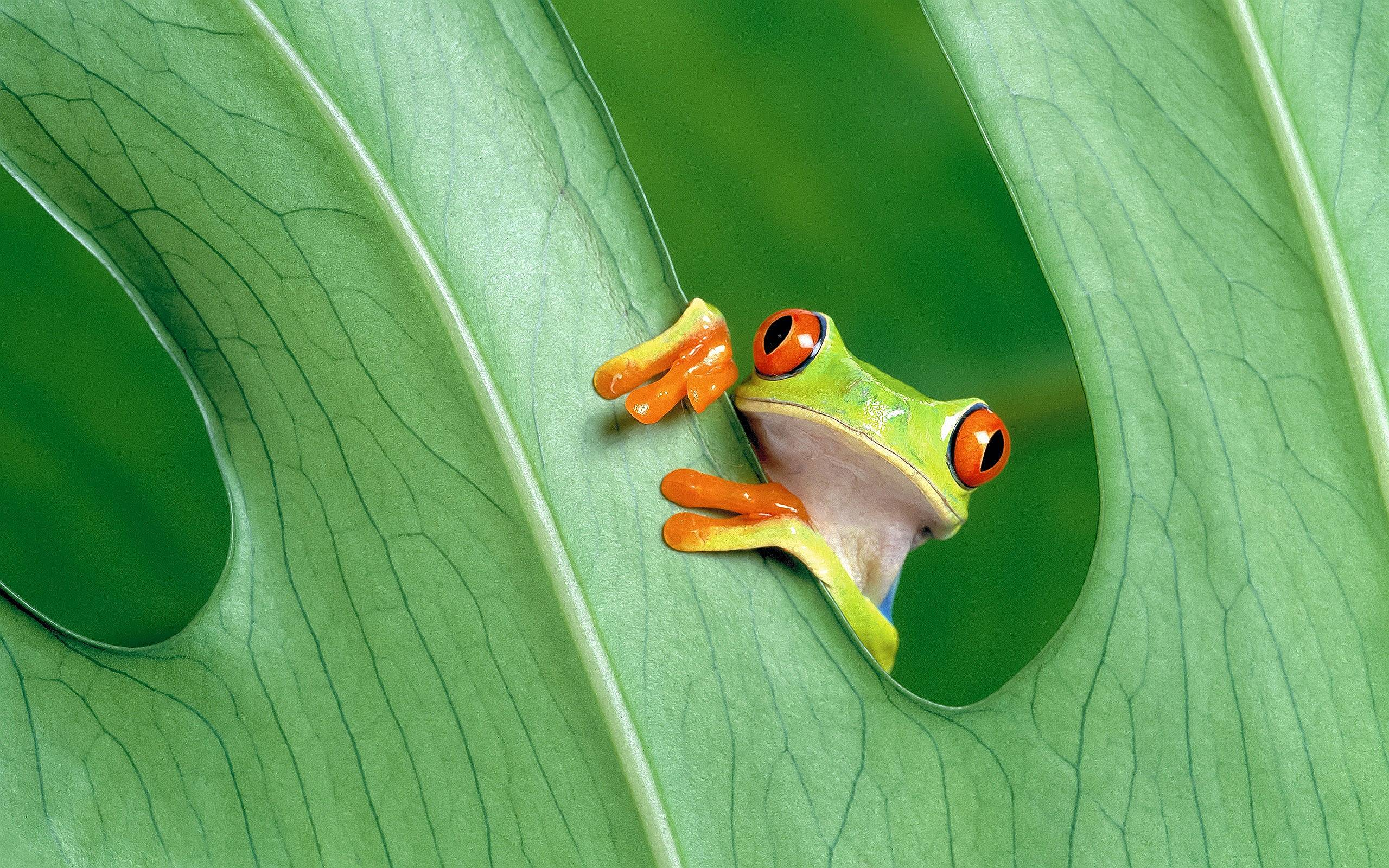 Tree Frog Wallpaper