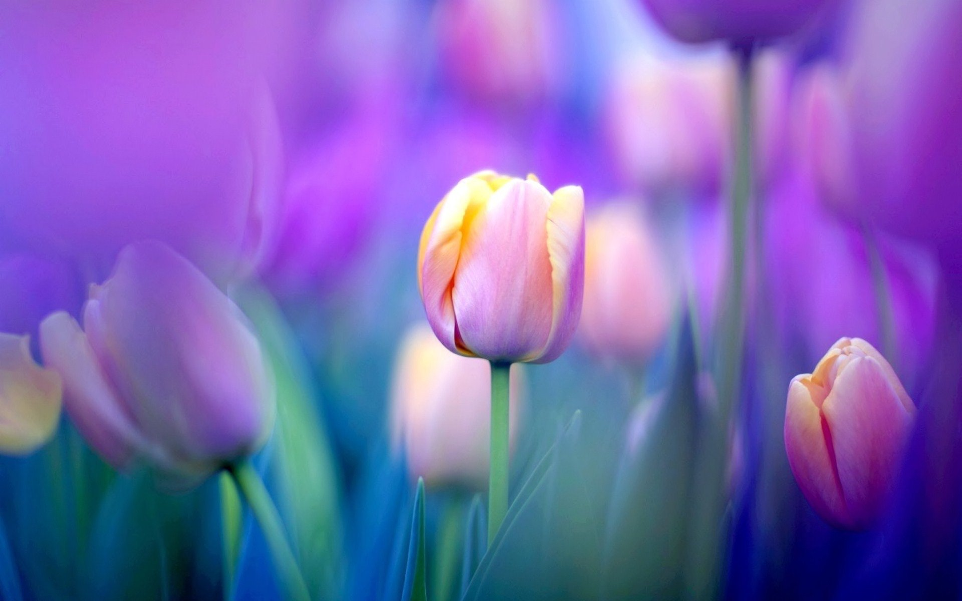 Tulip Pics Wallpapers