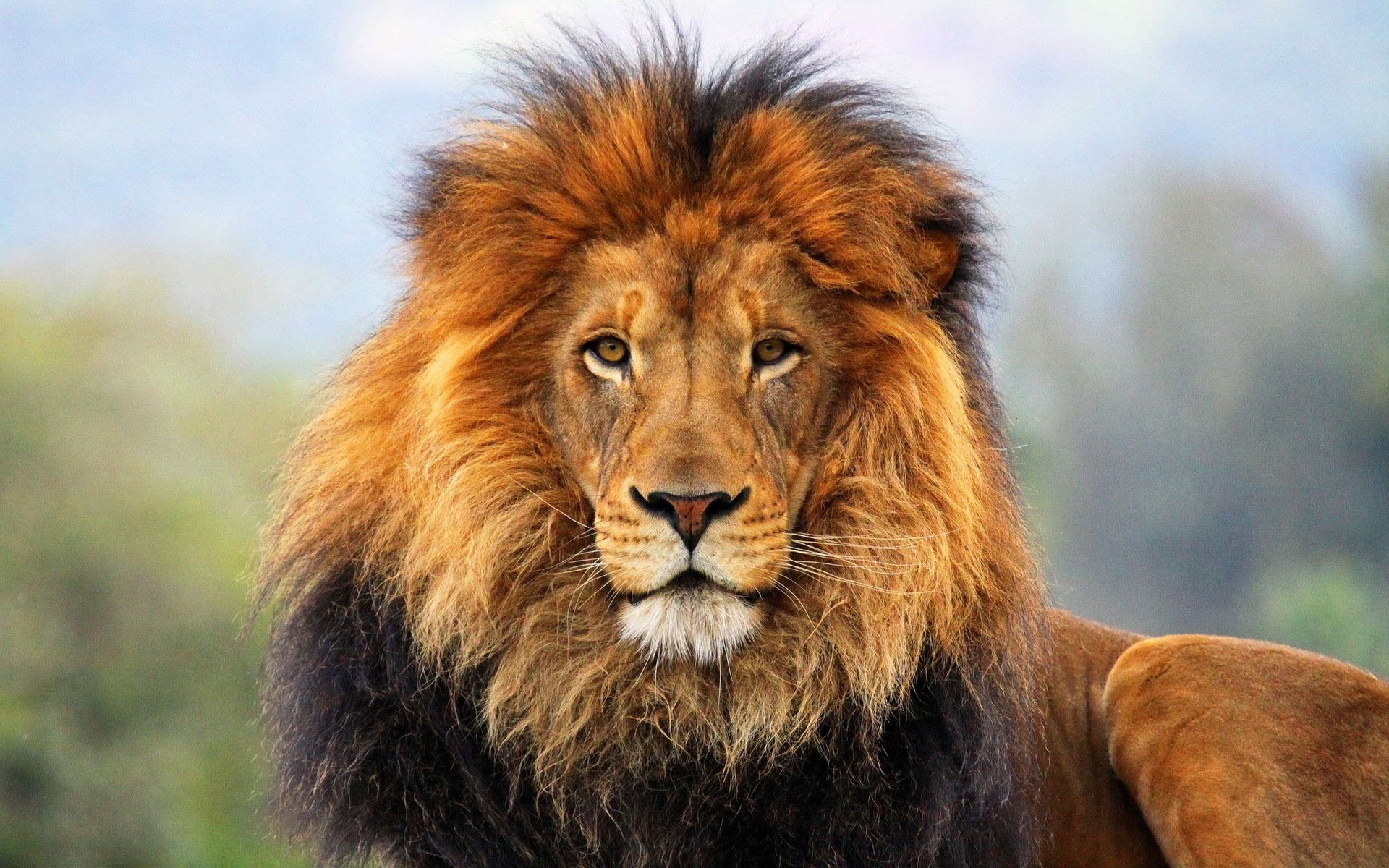 WWW Lion Wallpaper Com