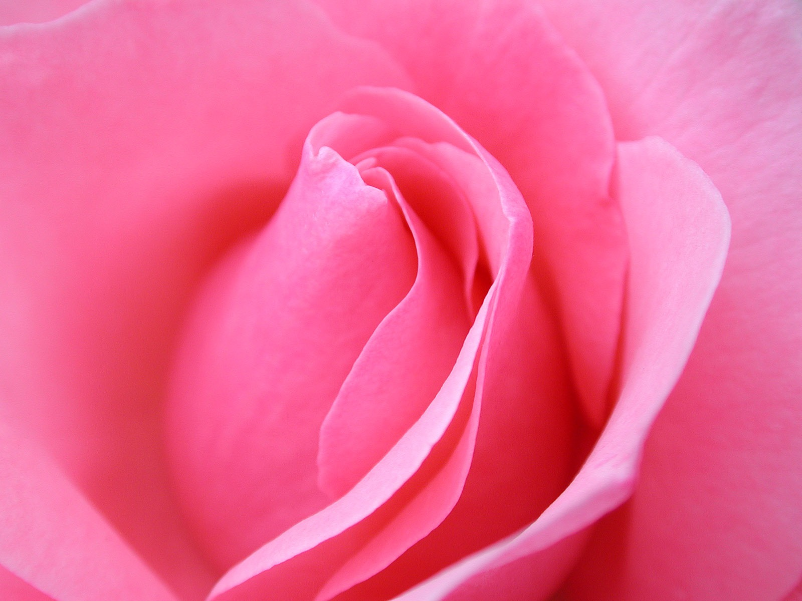 WWW Pink Rose Wallpapers Com