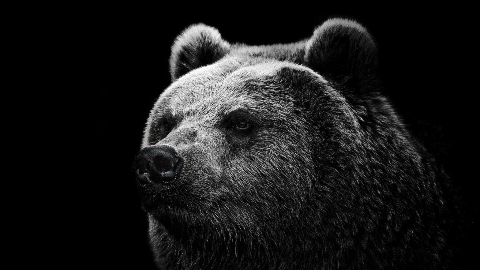 Wallpaper Bear