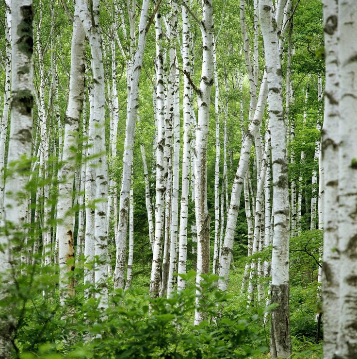 Wallpaper Birch Trees
