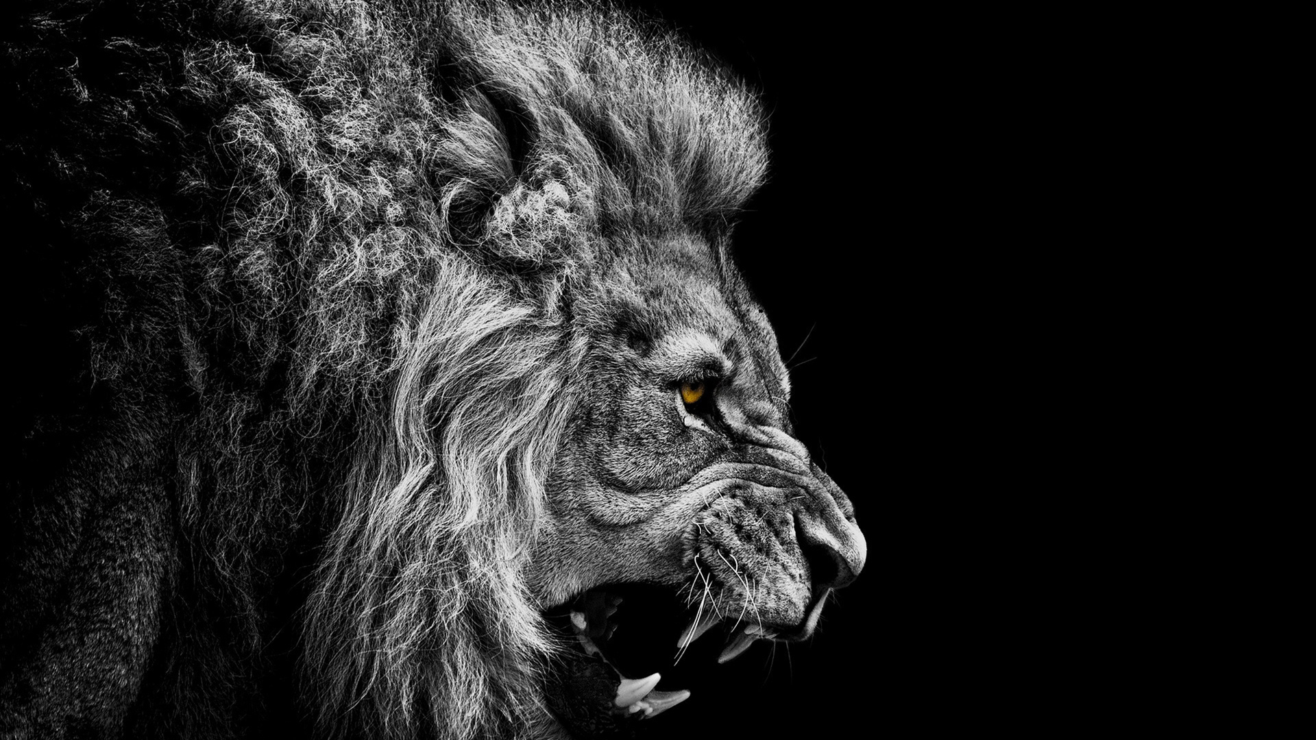 Wallpaper Black Lion