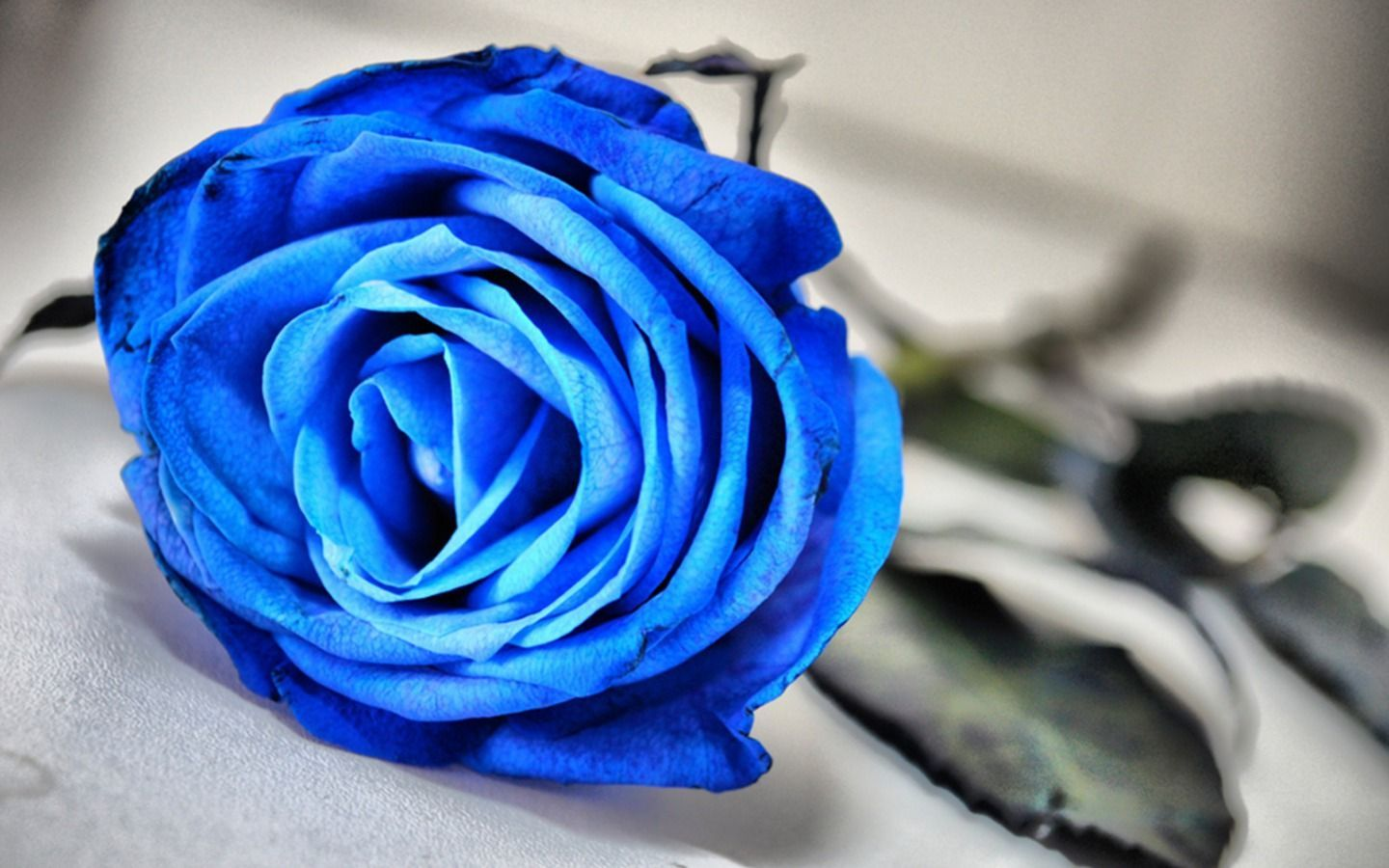 Wallpaper Blue Rose Flower