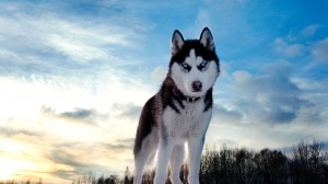 Wallpaper Husky