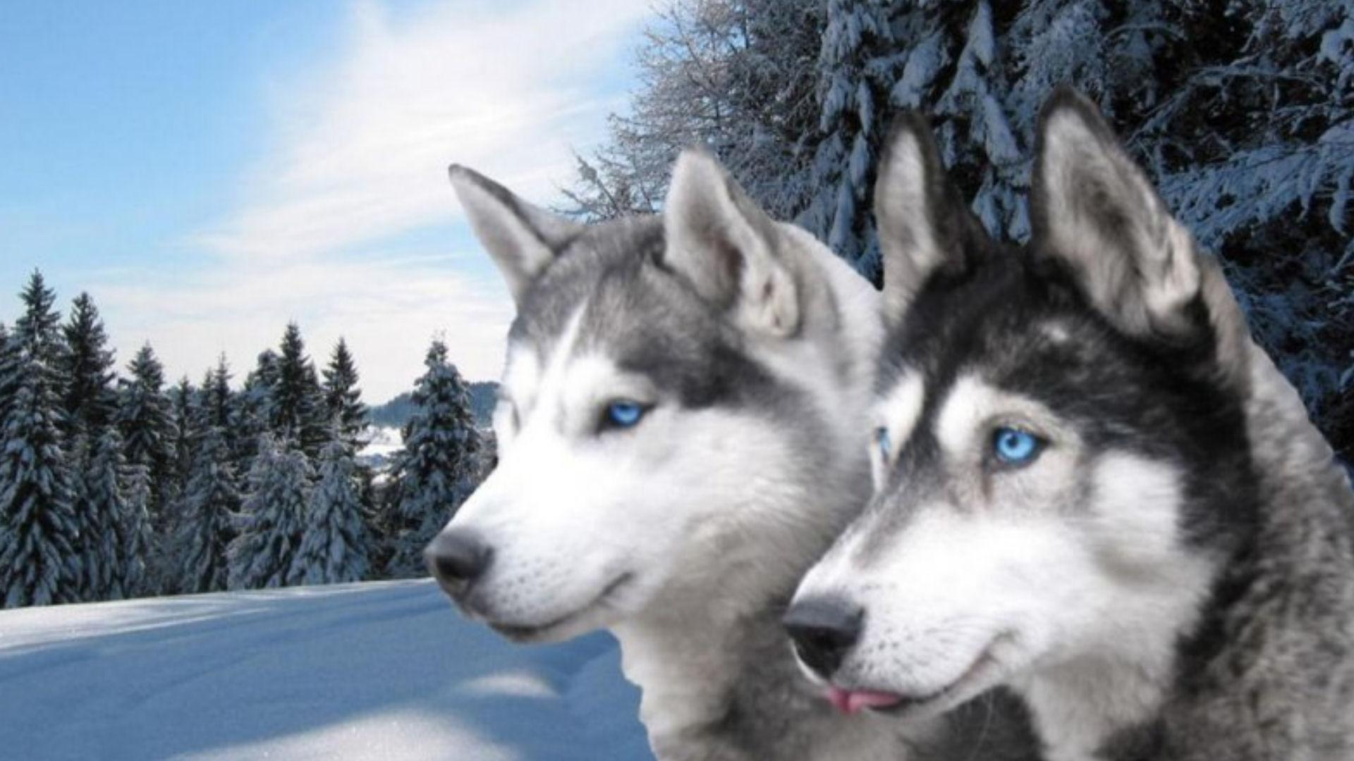 Wallpaper Of Huskies