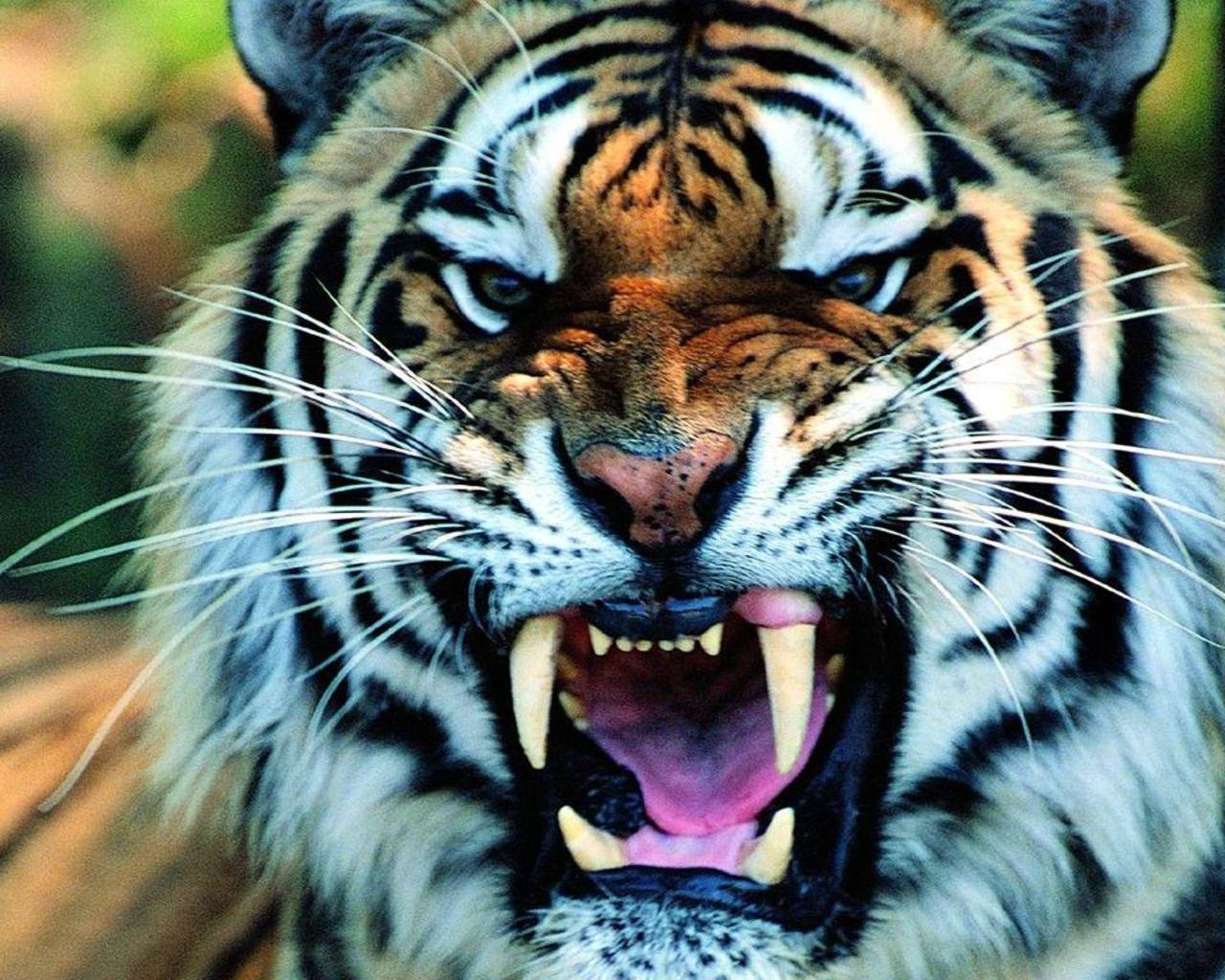 white tiger roaring face - animalcarecollege