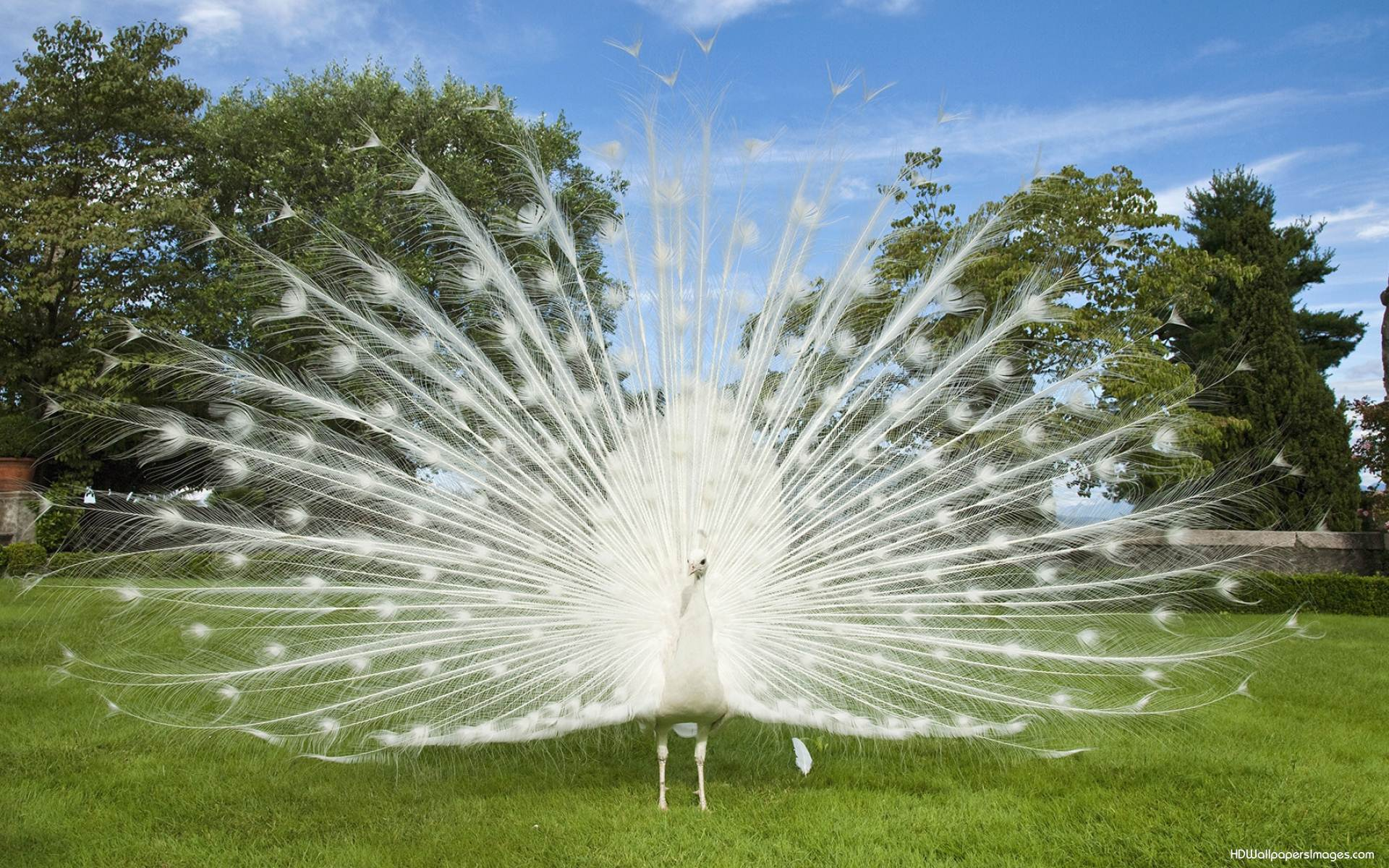 Download Wallpaper Of White Peacock Gallery