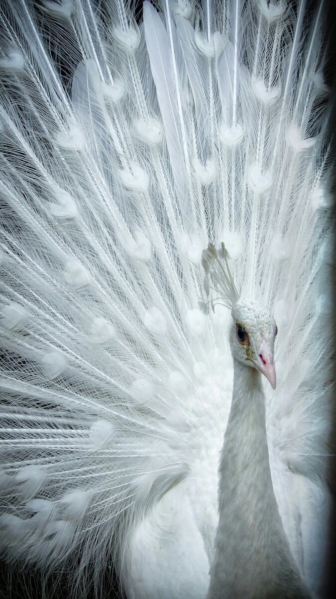 Wallpaper Of White Peacock