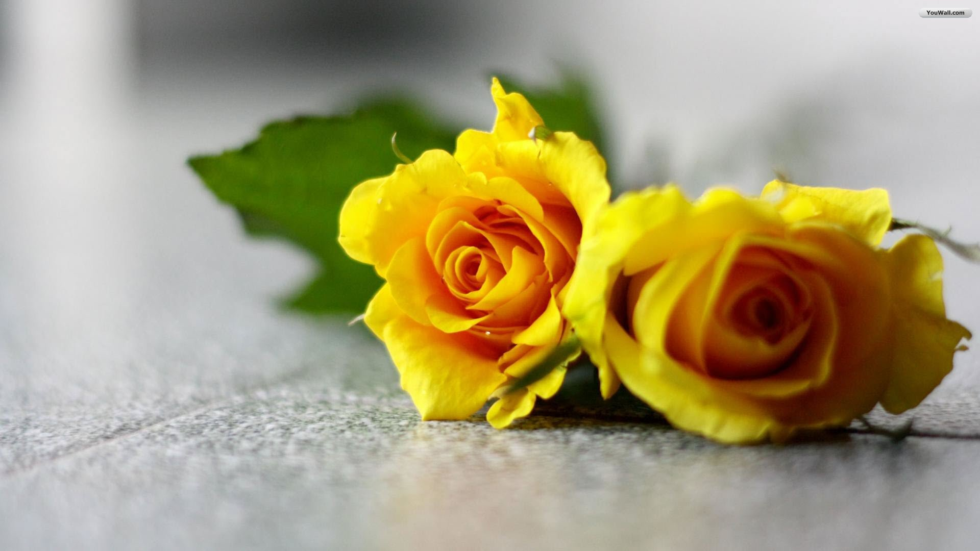 Wallpaper Yellow Rose