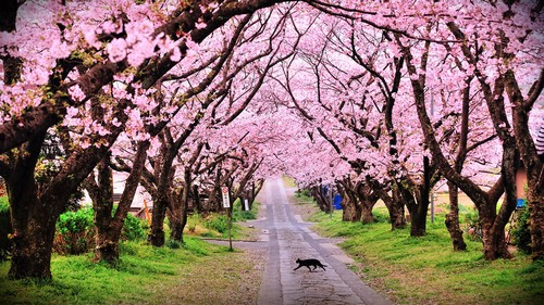 Wallpapers Cherry Blossom