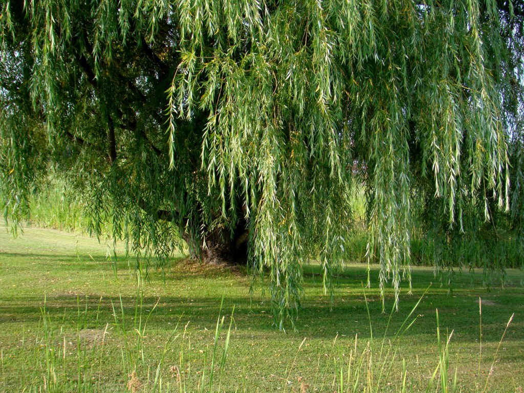 Weeping Willow Tree Wallpaper