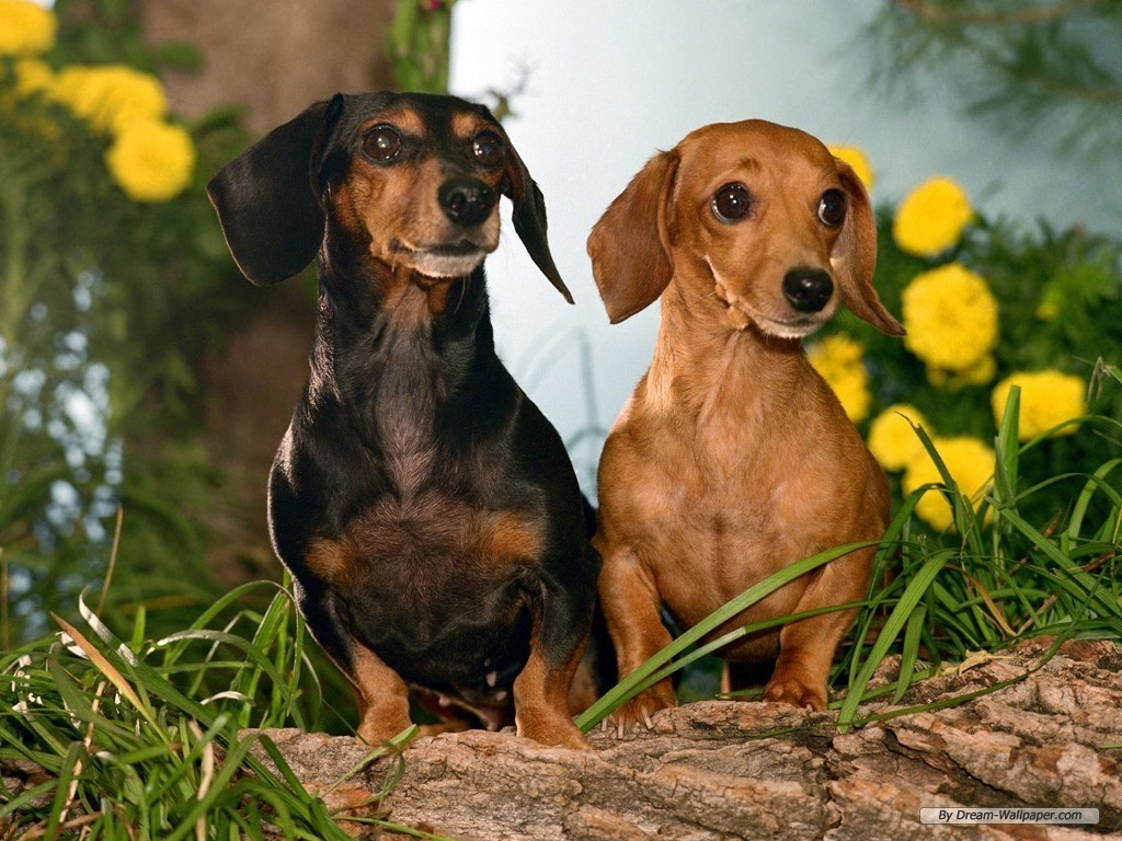 Weiner Dog Wallpaper