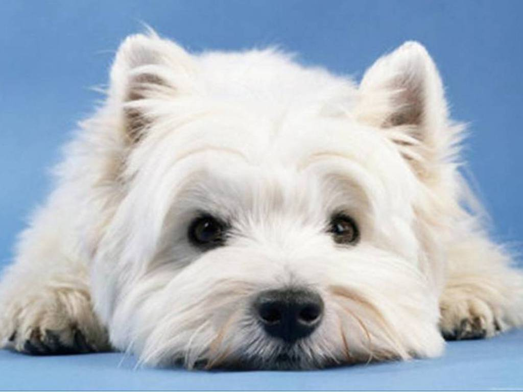 West Highland White Terrier Wallpaper