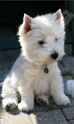 Westies Wallpaper