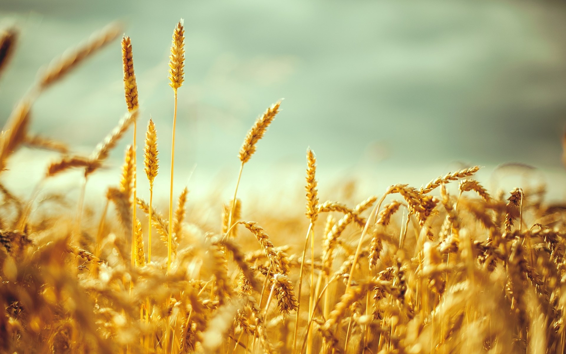 Wheat Fields Wallpaper