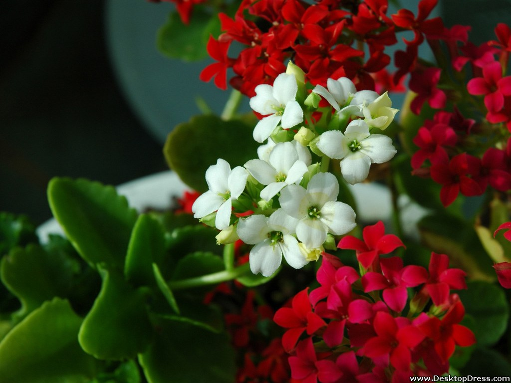 Download White And Red Flower Wallpaper Gallery