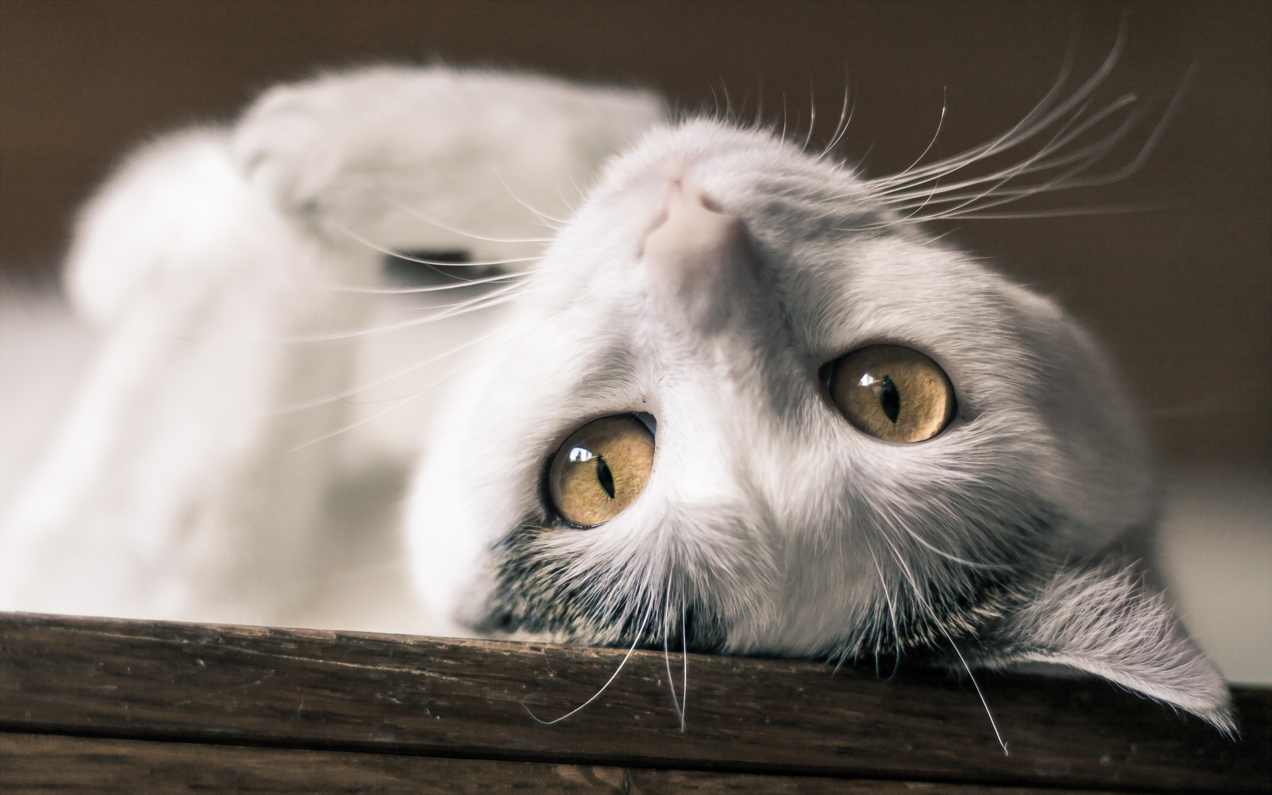 download white cat wallpaper gallery