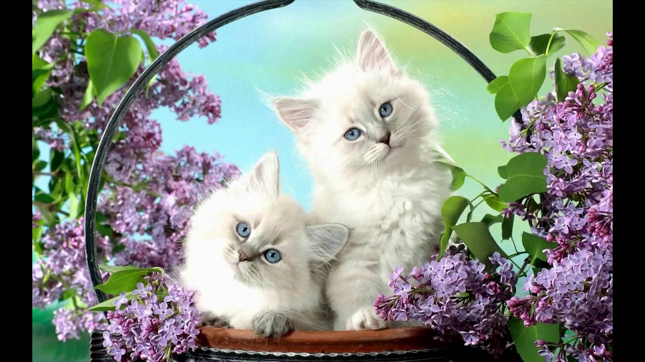 download white cats and kittens wallpapers gallery