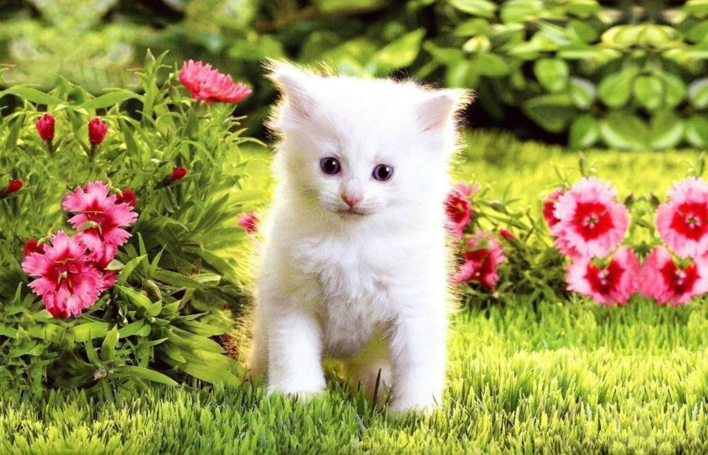 White Cats Wallpapers