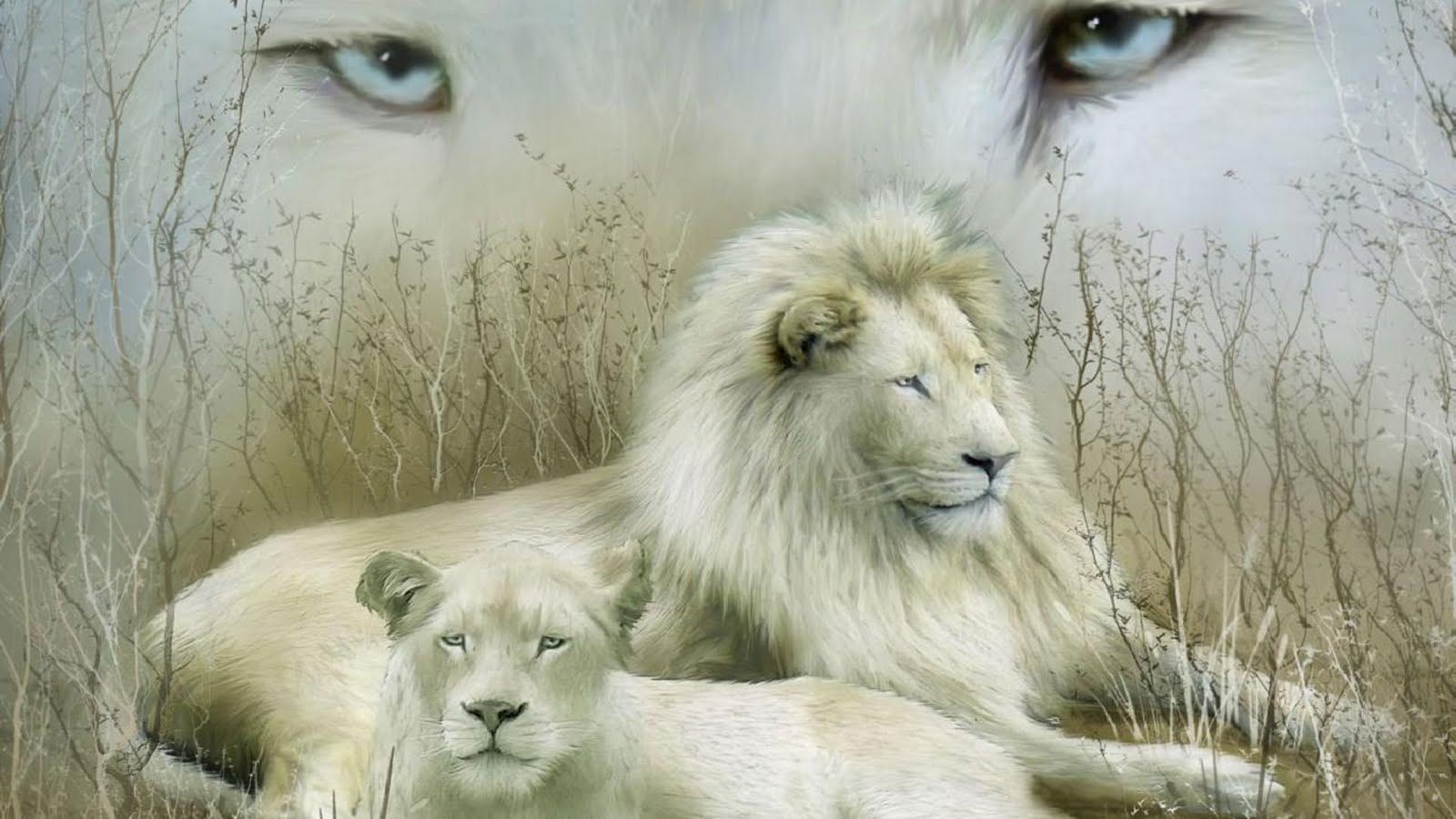 White Lions Wallpapers