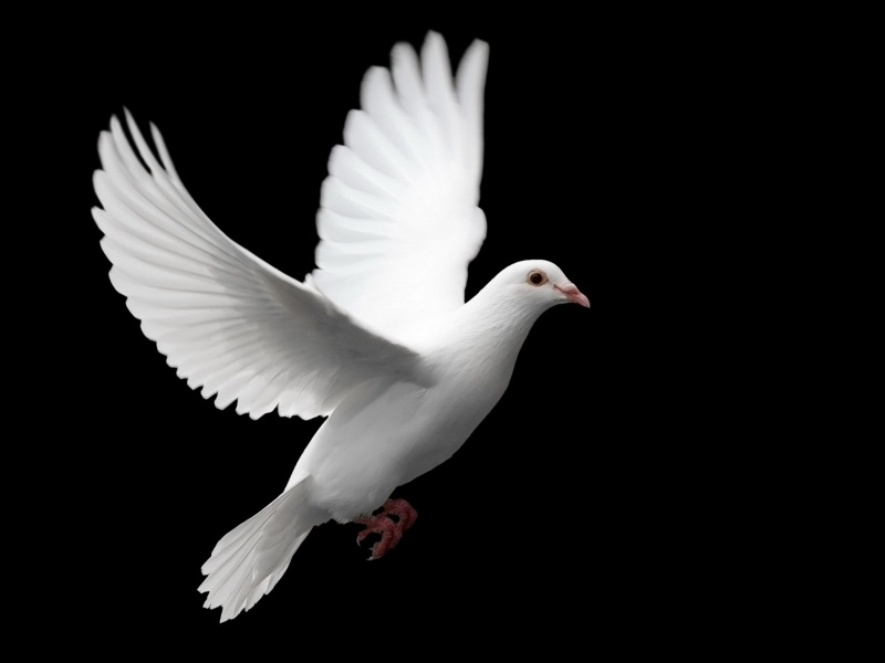 White Pigeon Bird Wallpaper