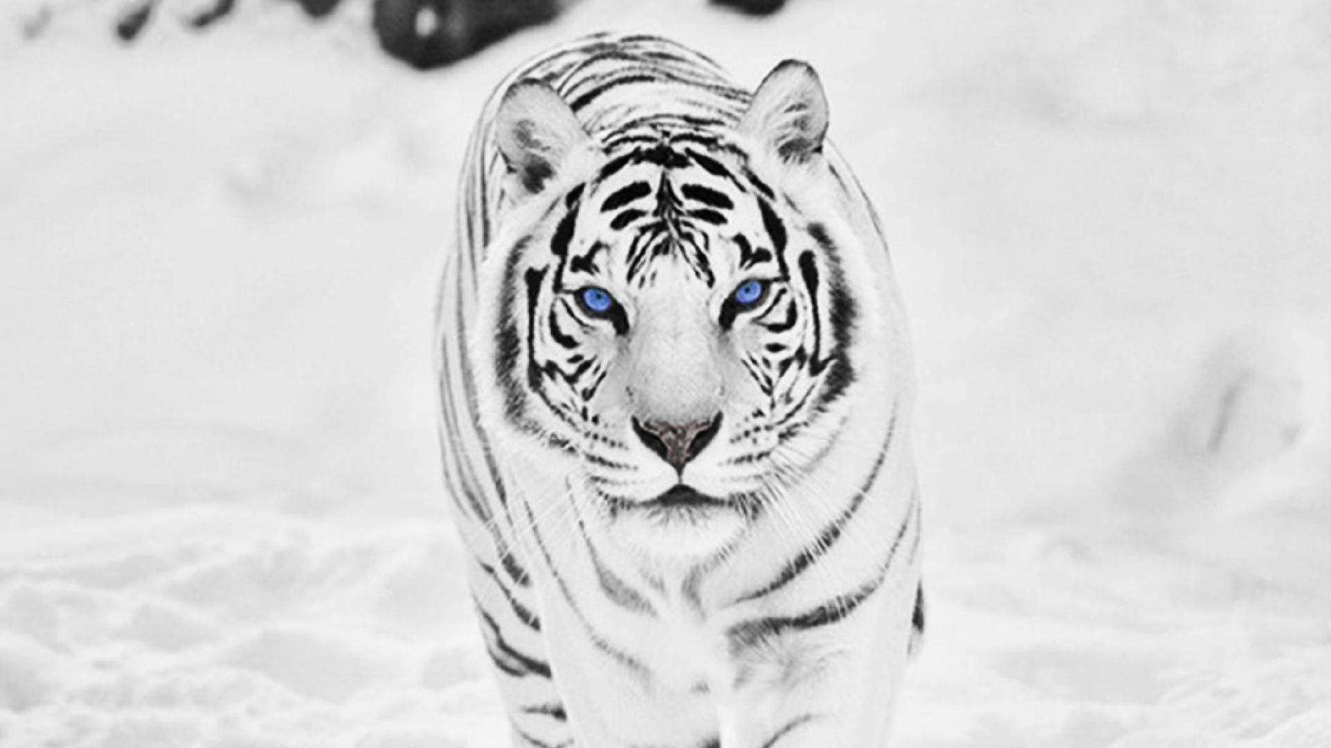 White Siberian Tiger Wallpaper