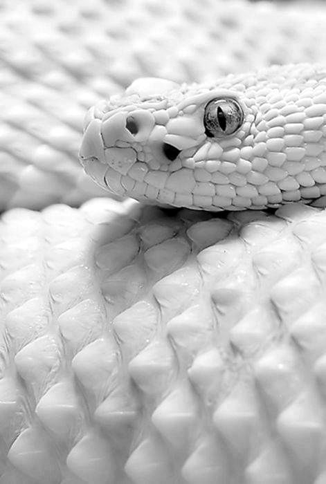 White Snake Wallpaper