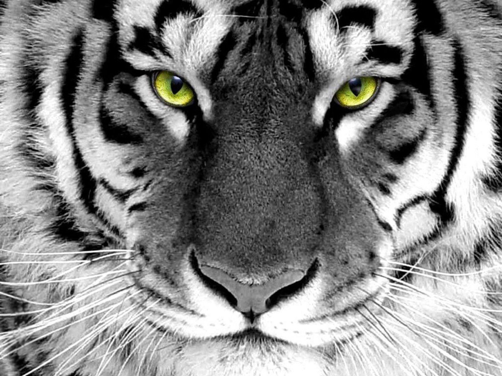 White Tiger Full HD Wallpaper