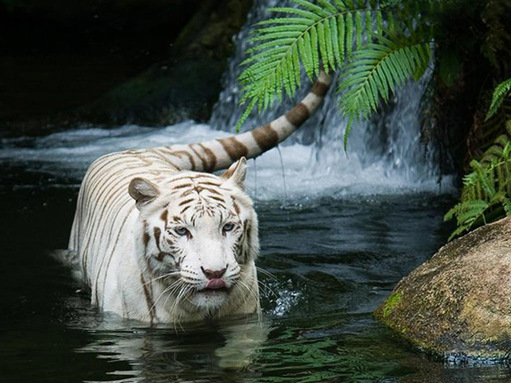 White Tiger In Water Wallpaper