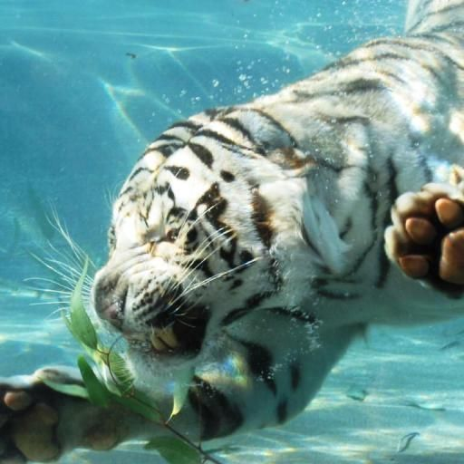 White Tiger Live Wallpapers