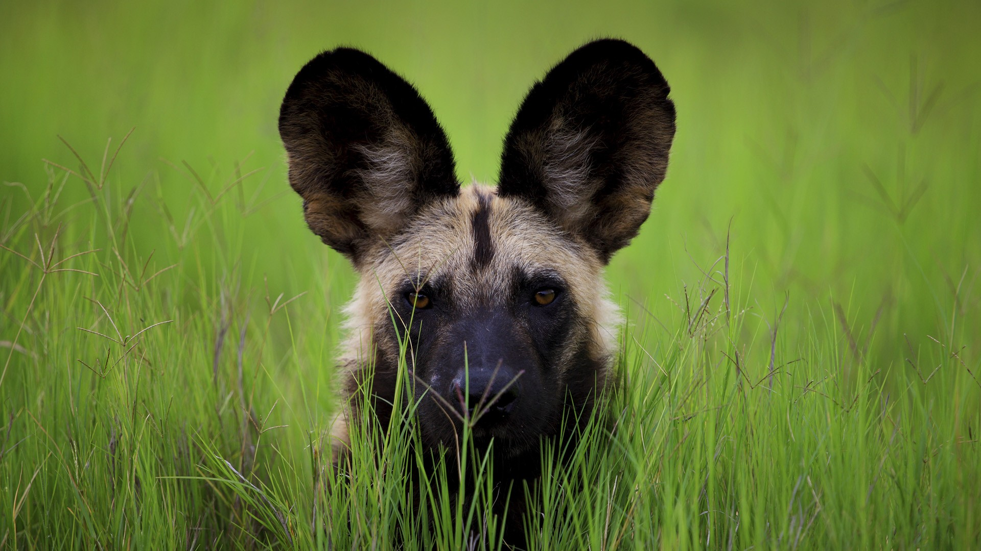 Wild Dog Wallpaper