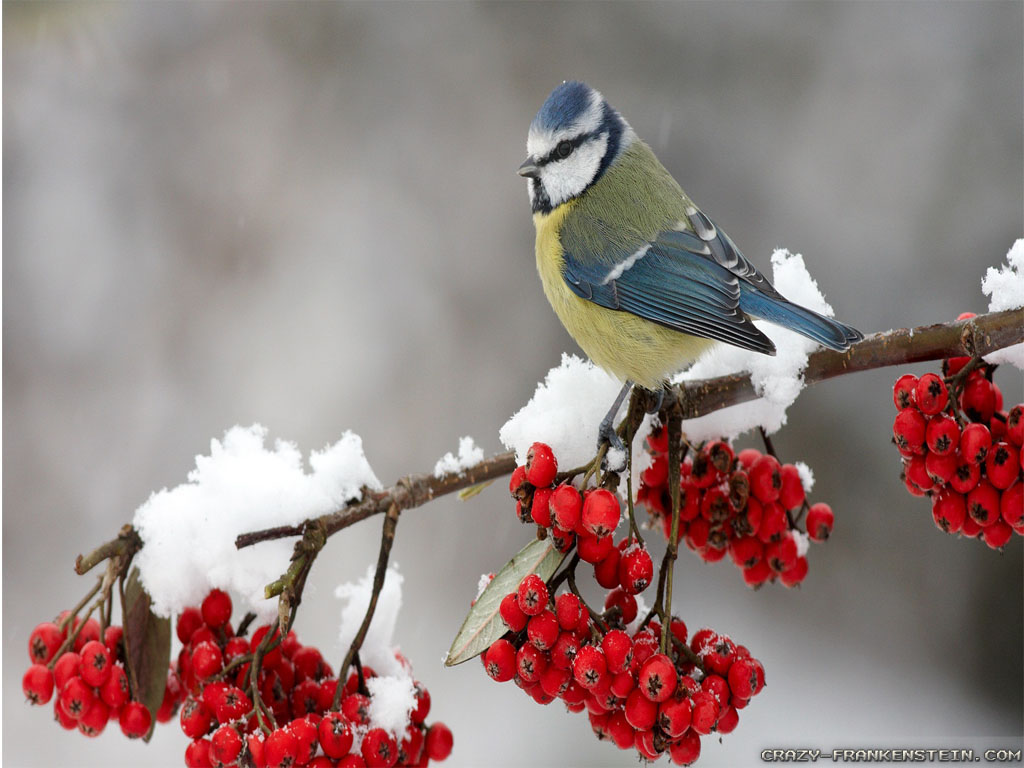 Winter Bird Wallpaper