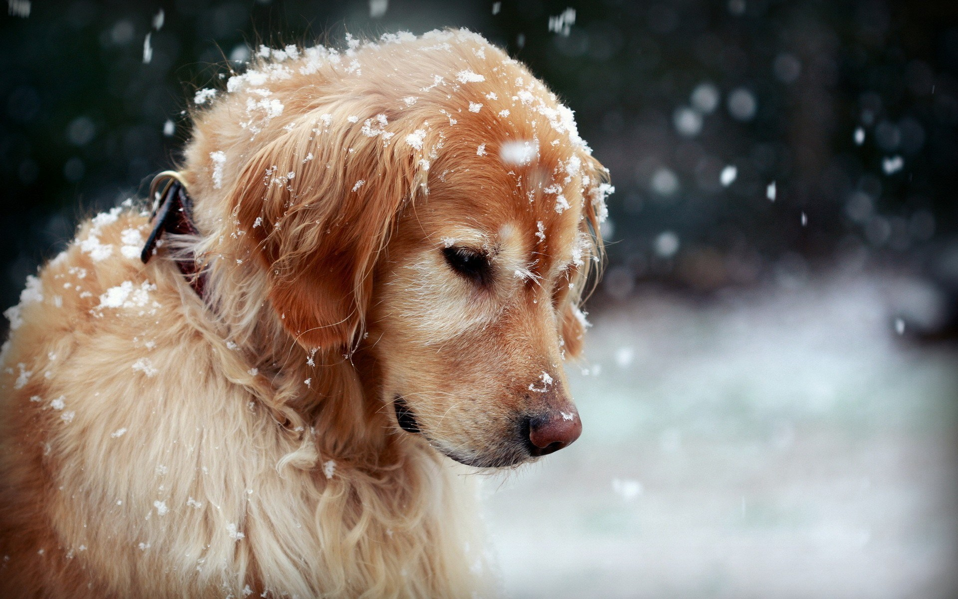 Winter Dog Wallpaper
