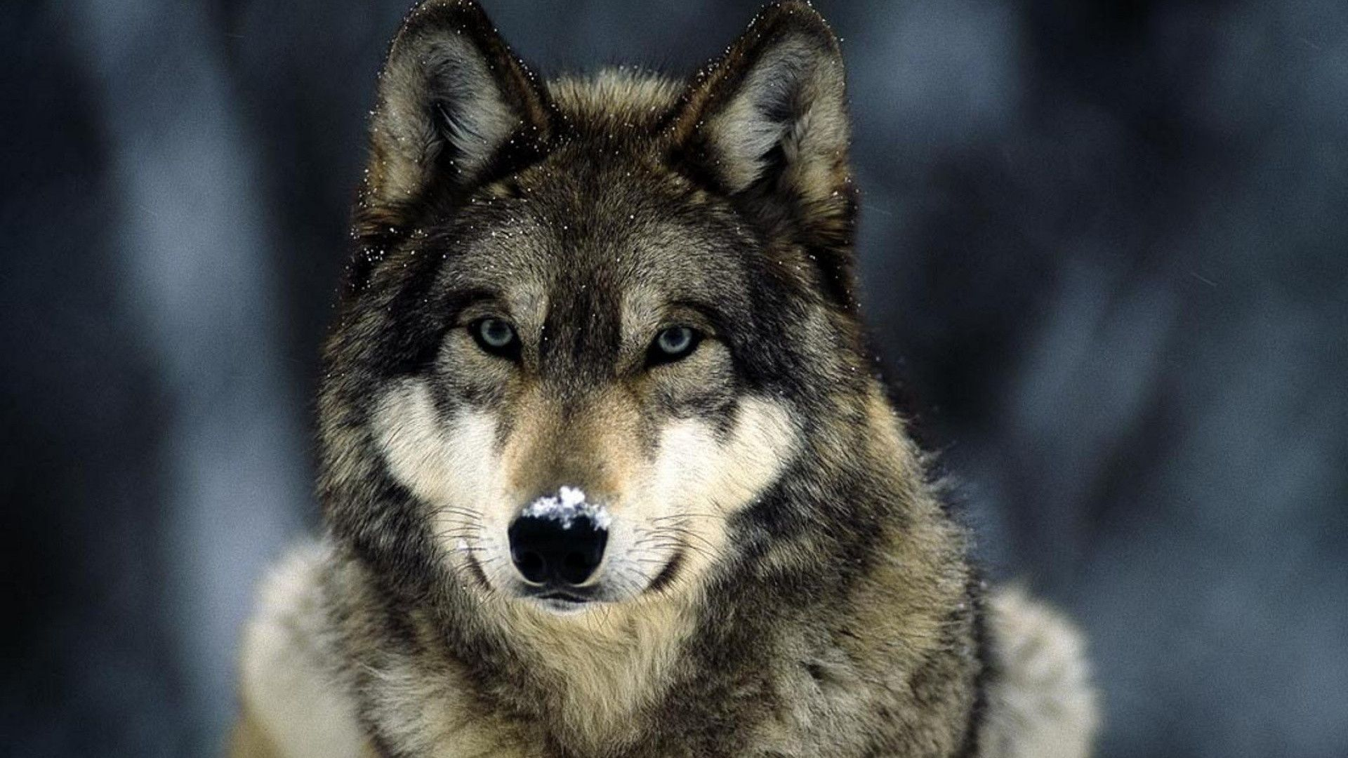 Wolf HD Wallpapers