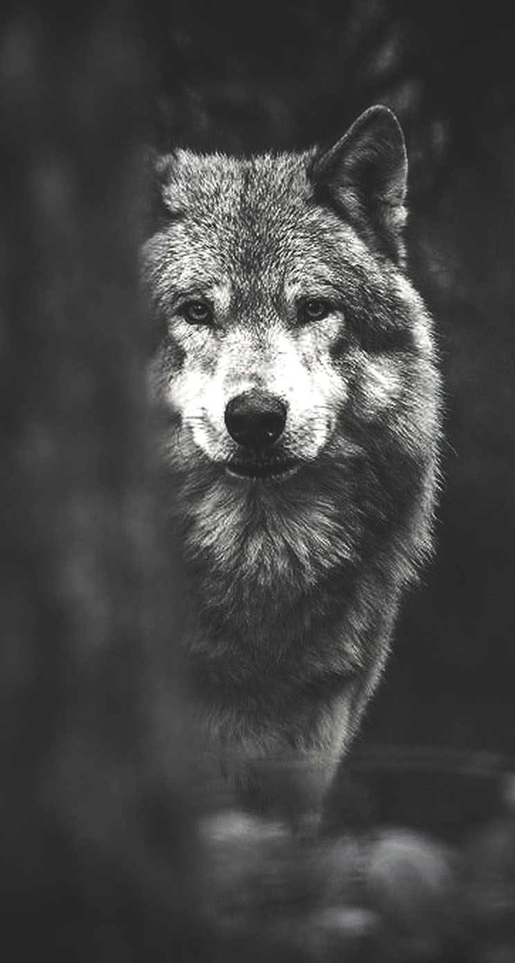 Wolf Iphone Wallpaper