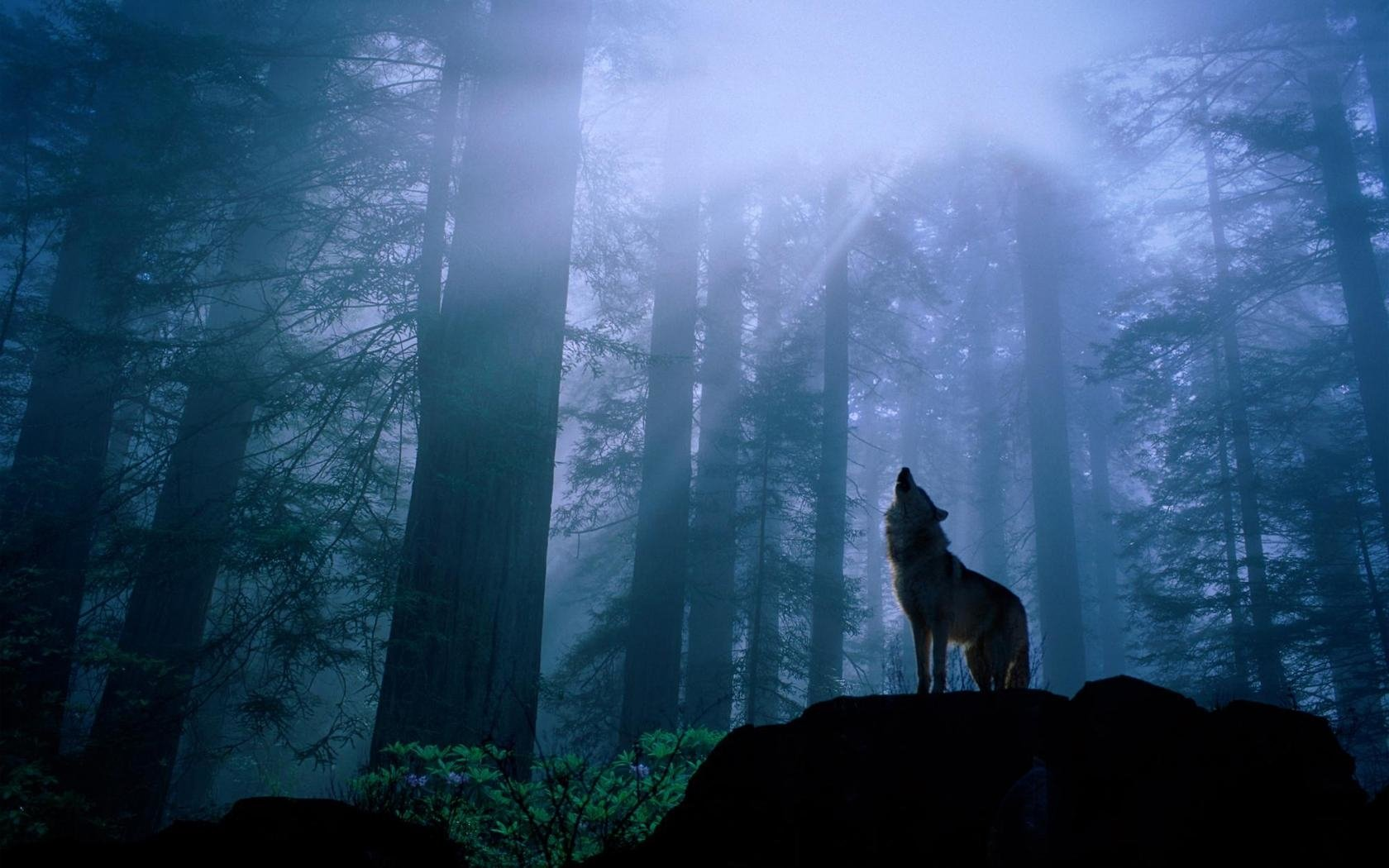 Wolf Pictures Wallpaper