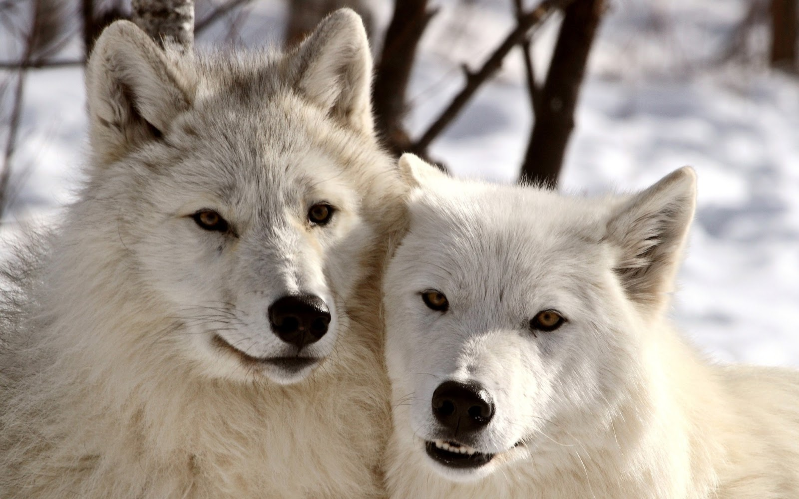 Group Of Cute White Wolf Pups Wallpaper
