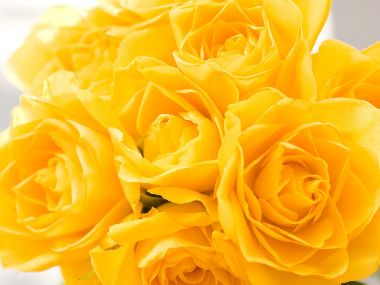Yellow Rose Pictures Wallpaper