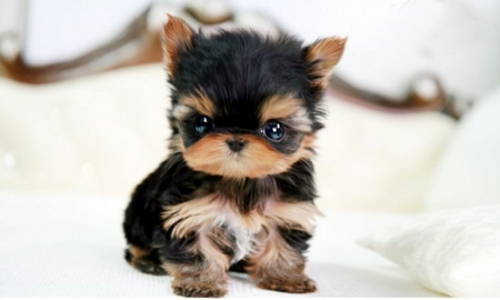 Yorkie Puppies Wallpaper