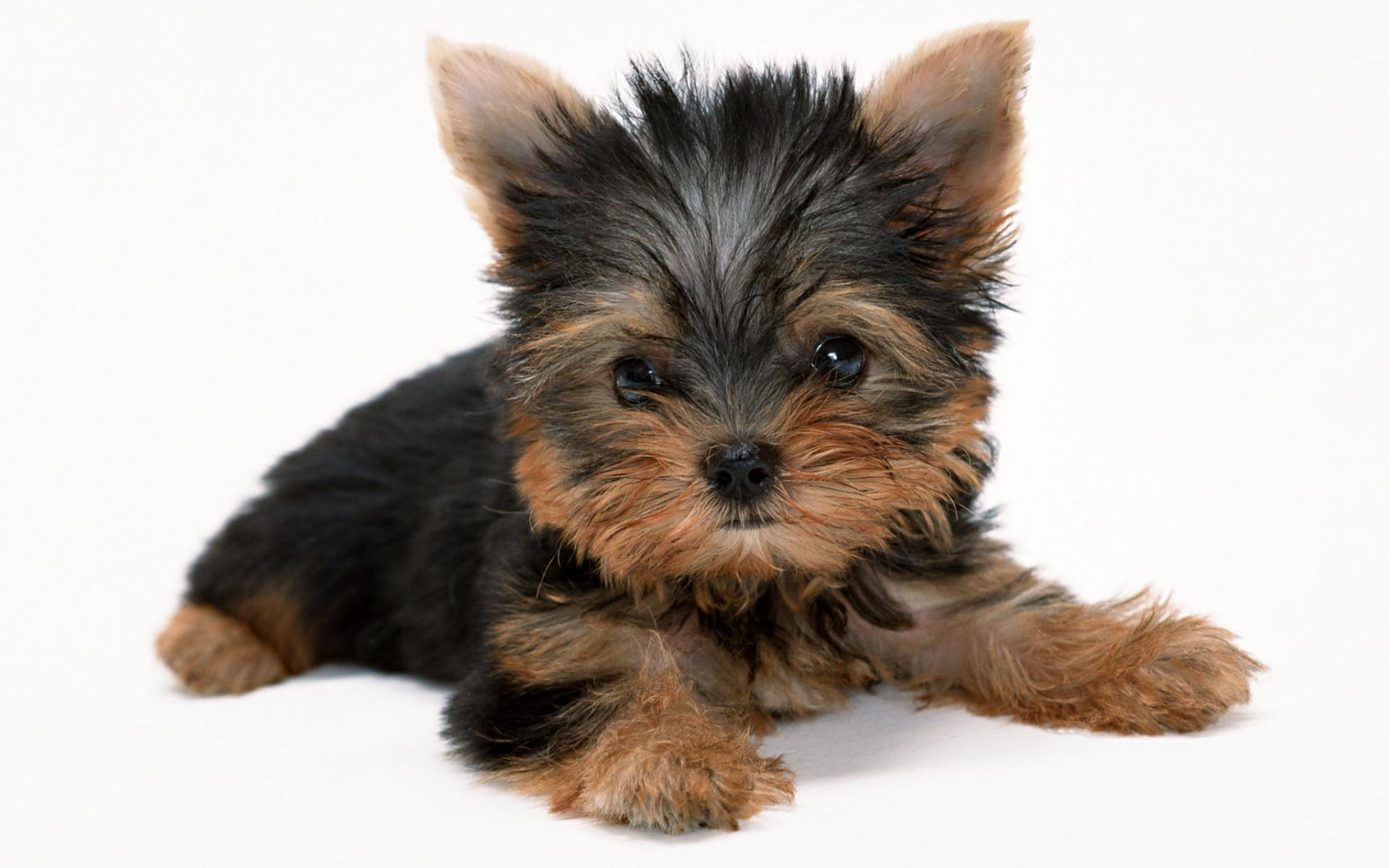 Yorkie Puppy Wallpaper