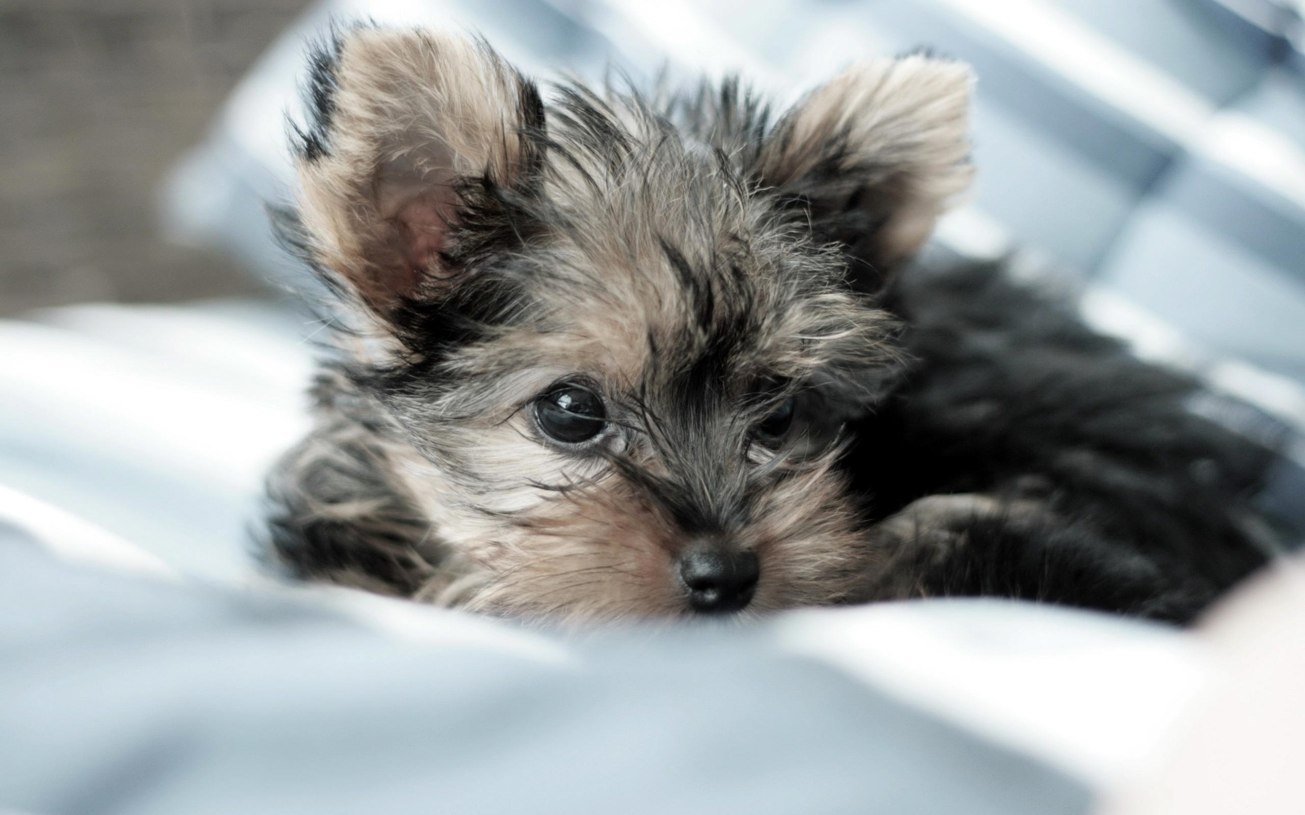 Yorkie Terrier Wallpaper