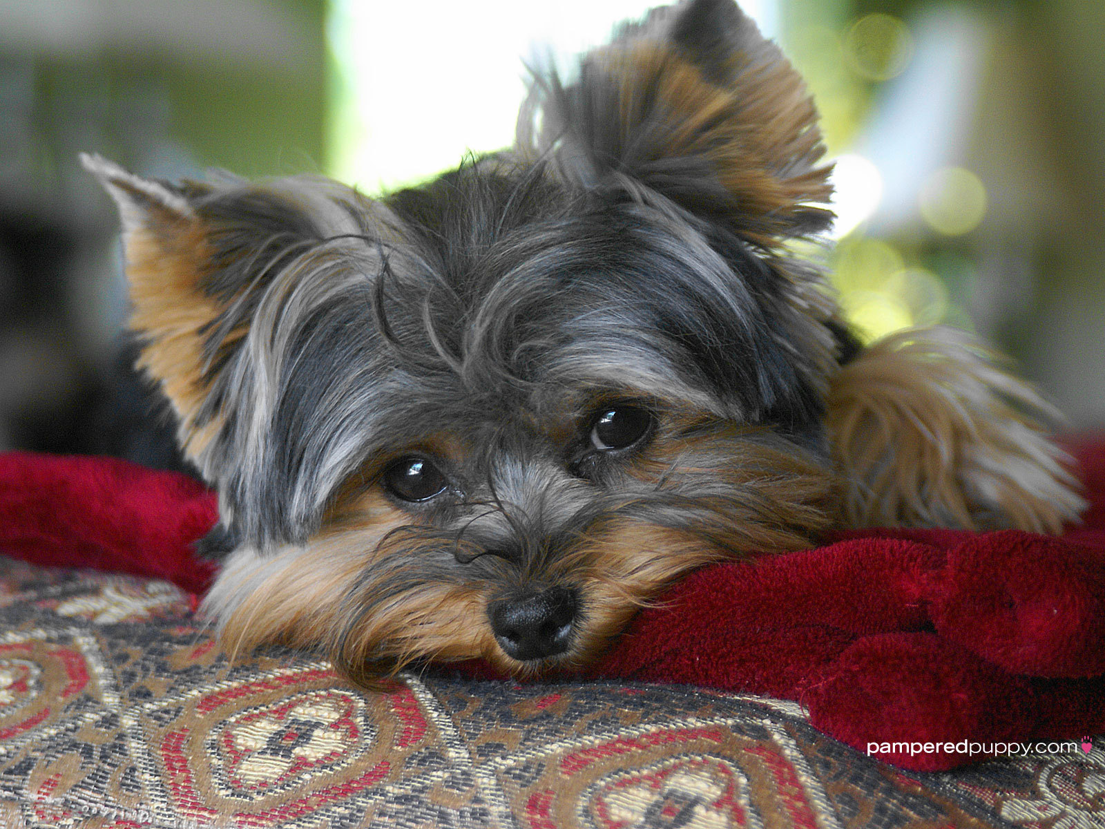 Yorkshire Terriers Wallpaper