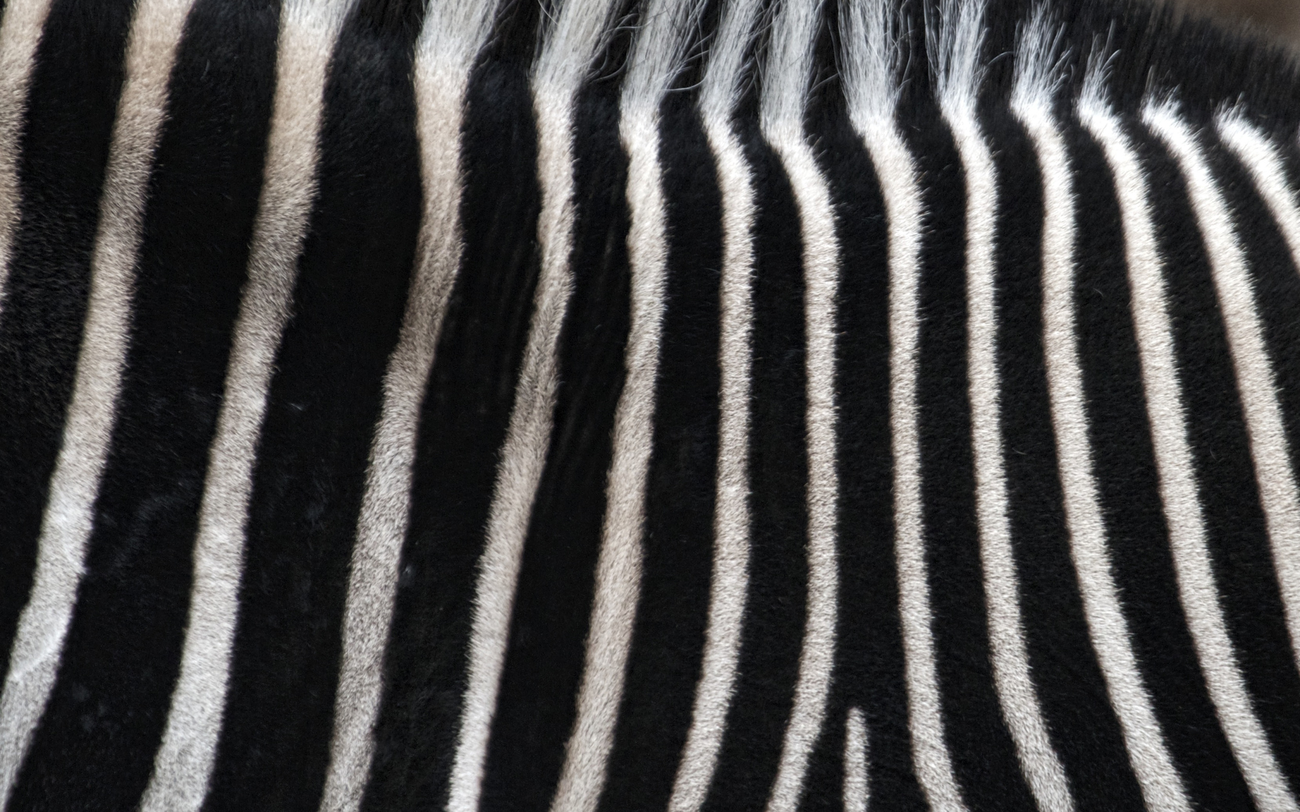 Download Zebra Stripes Wallpaper Gallery