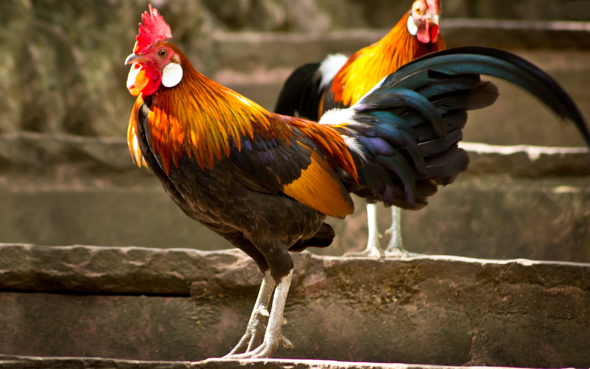 Wallpaper Chickens And Roosters